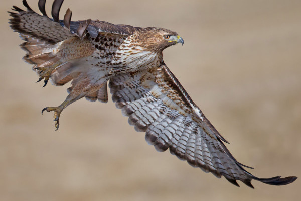 immature red tailed hawk spirit animal