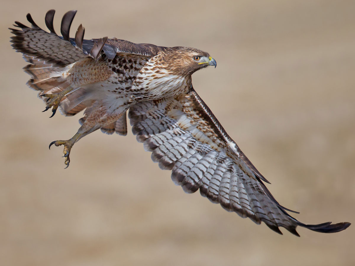 immature red tailed hawk spirit animal