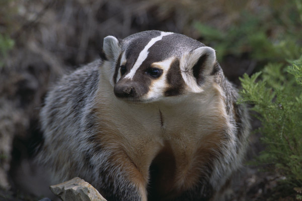 badger spirit animal