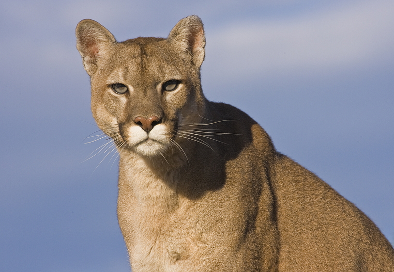 cougar power animal