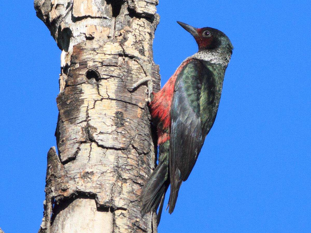 lewis woodpecker spirit animal