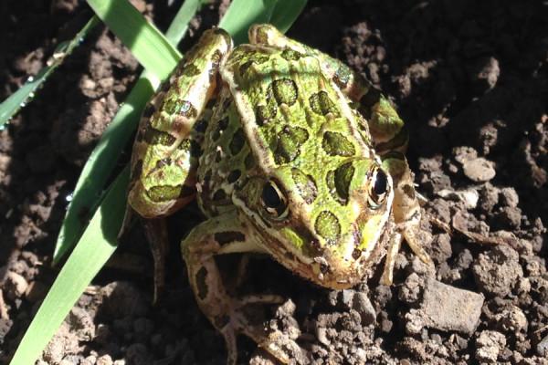 frog-symbolism