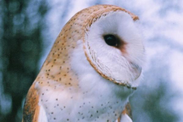barn owl gracious wild