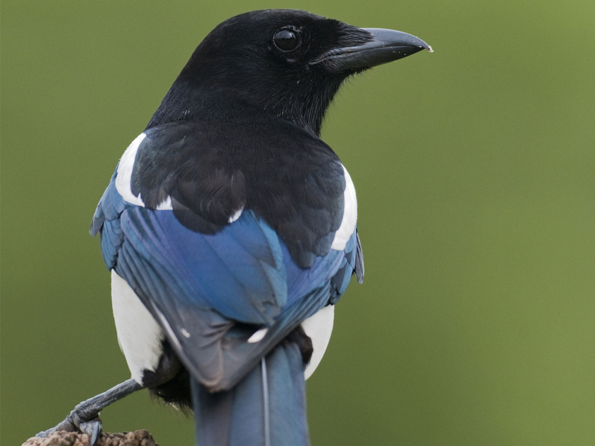 Magpie Spirit Animal Wild Gratitude