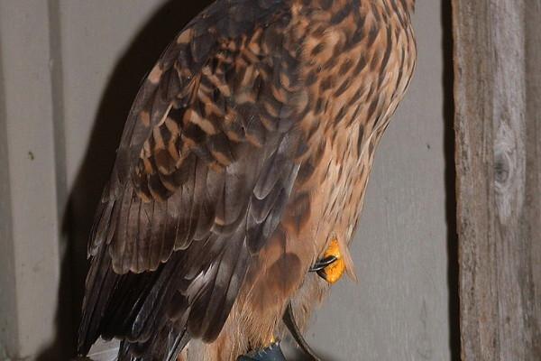 northern harrier hawk power animal