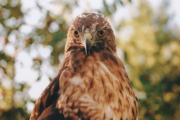 Red-Tailed Hawk Symbolism - Spirit Animals - Wild Gratitude