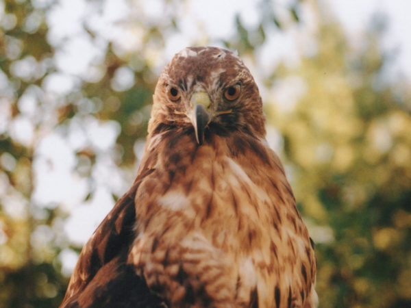 meaning of red-tailed hawk symbolism