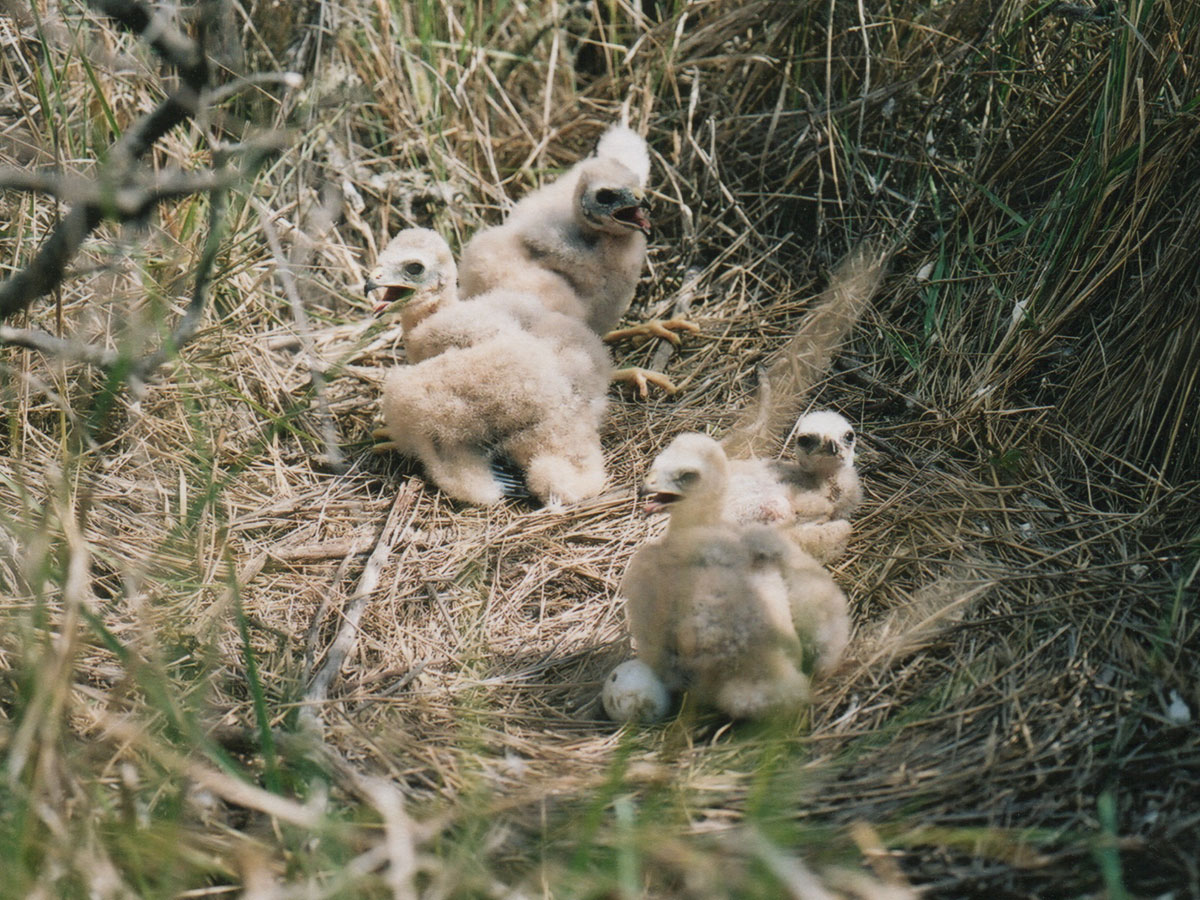 harrier hawk chicks