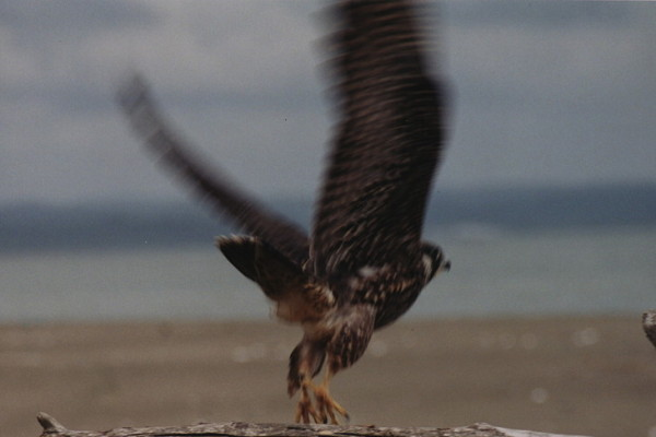 peregrine falcon sacred action