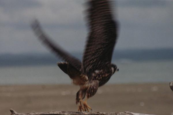 peregrine falcon sacred action