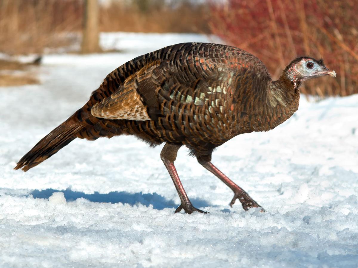 meaning of turkey spirit animal