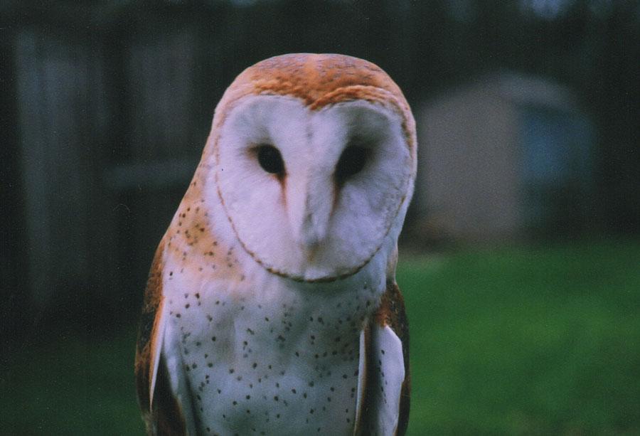 Barn Owl Symbolism Wild Gratitude