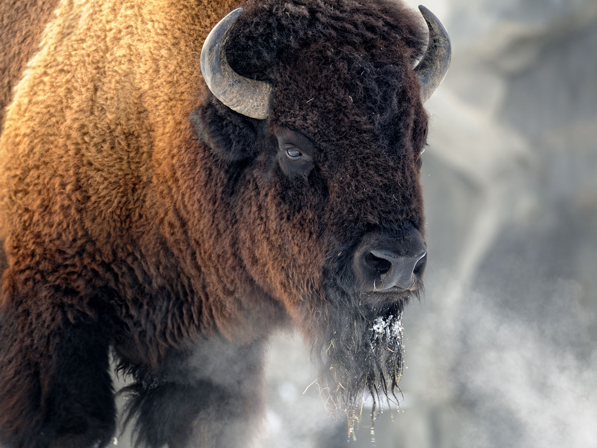buffalo spirit animal