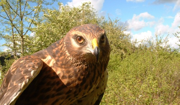 shamanic journey with hawks