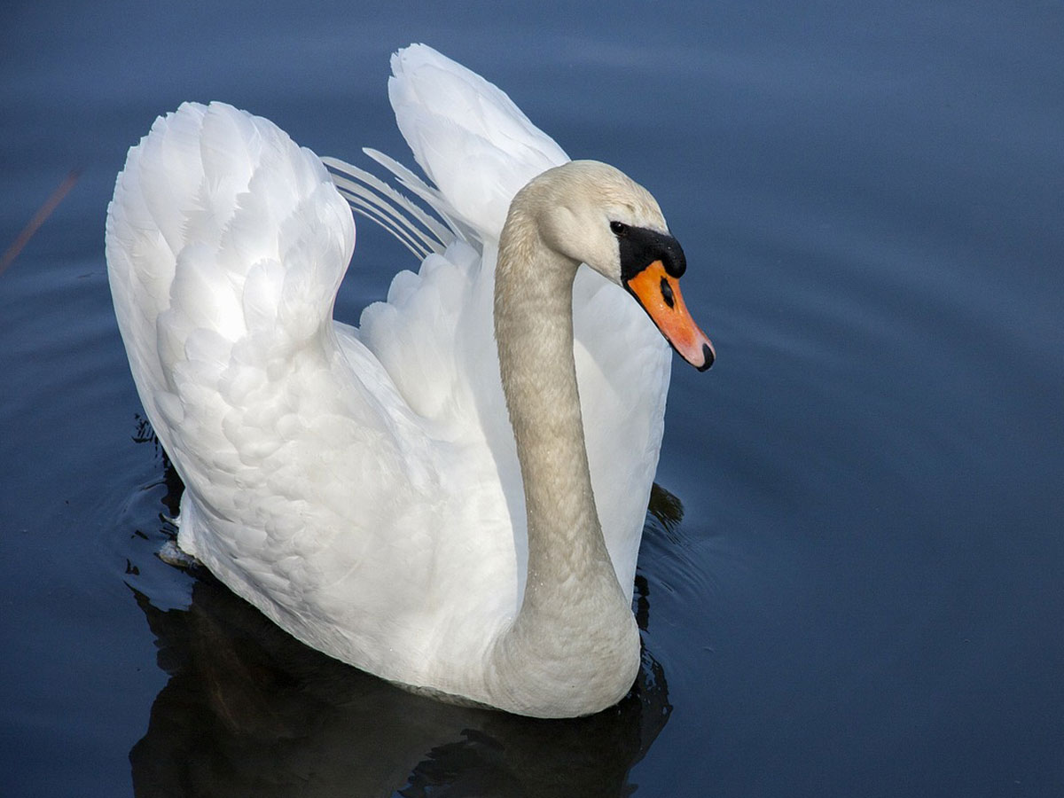swan symbolism