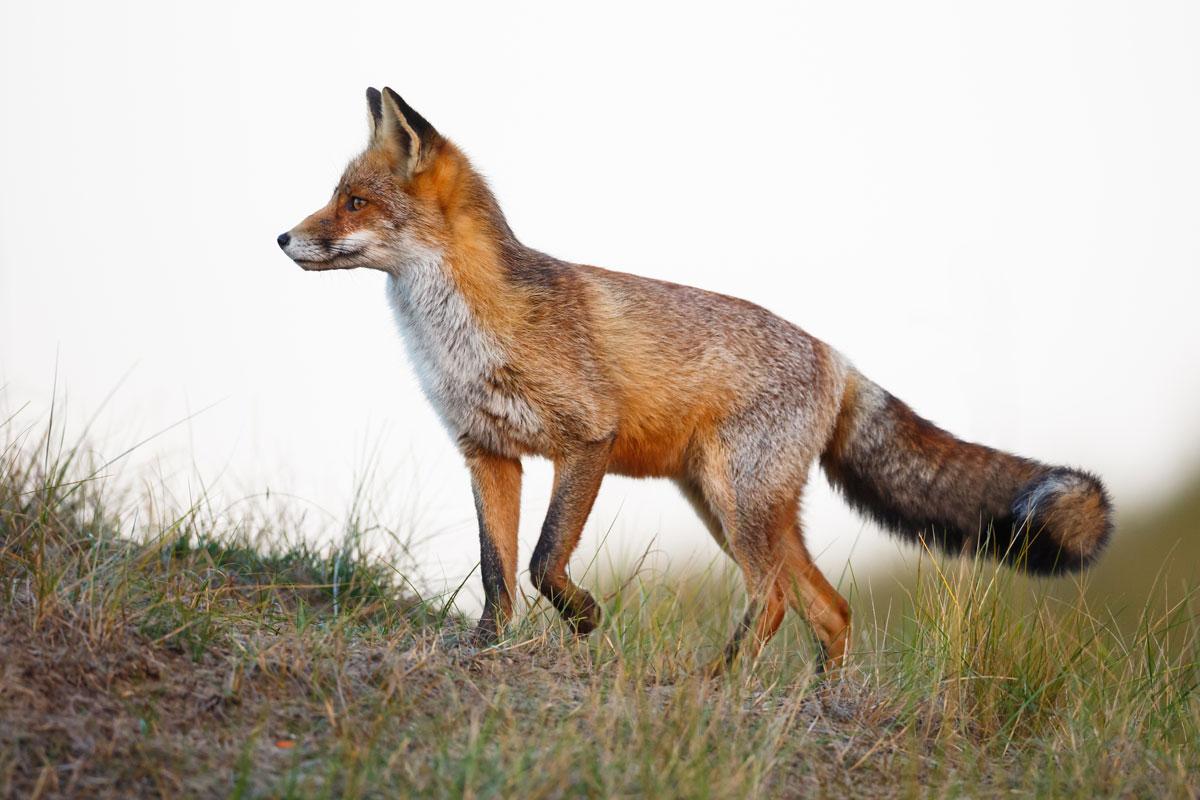 Fox Symbolism & Fox Spirit Animal - Wild Gratitude