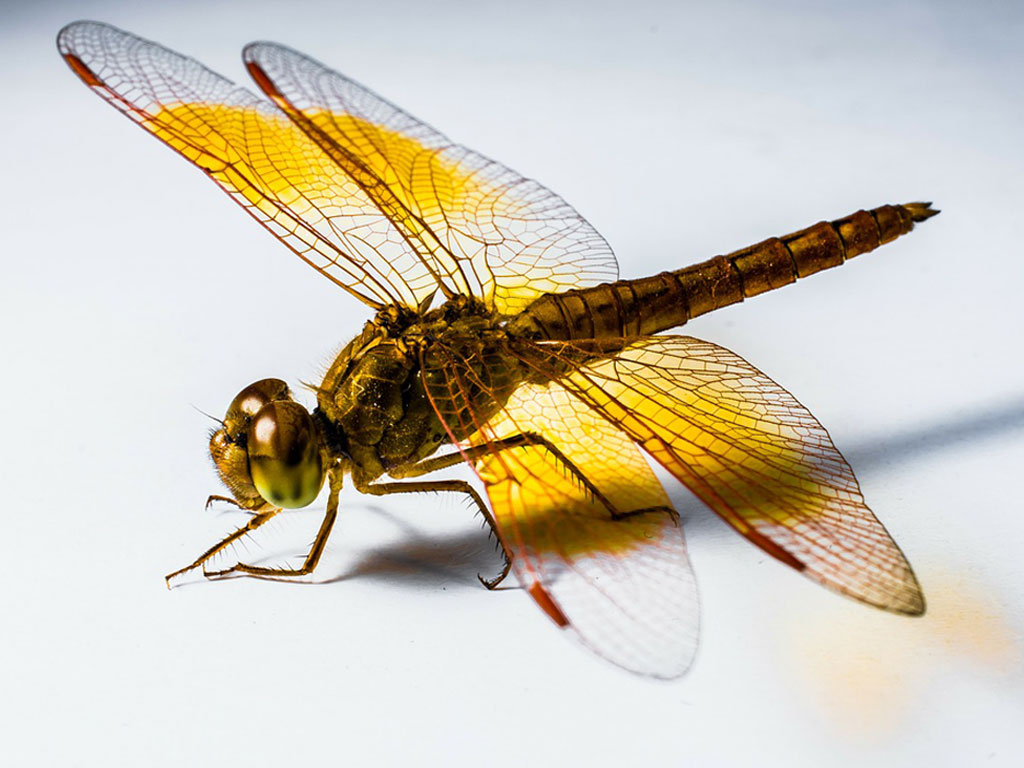 Spirit Animals Dragonfly Symbolism