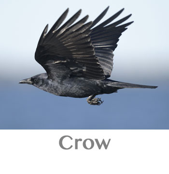 crow spirit animal