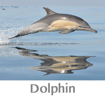 dolphin spirit animal