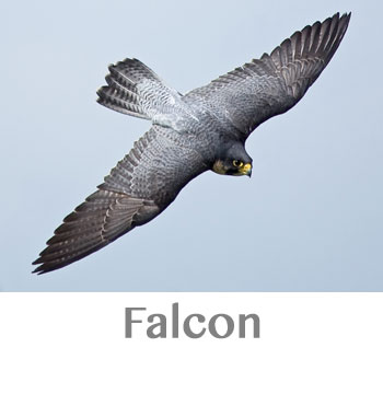 falcon spirit animal