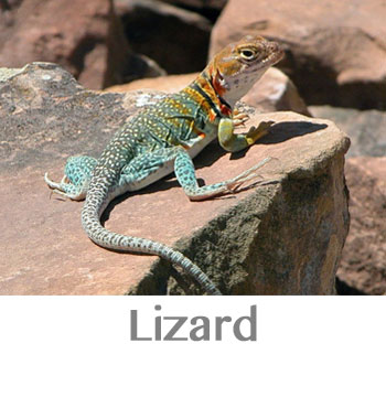 lizard spirit animal