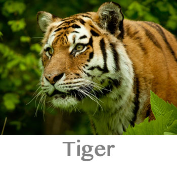 tiger spirit animal meaning
