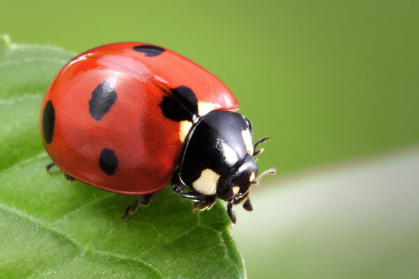 Meaning of Ladybug Spirit Animal - Wild Gratitude