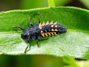 meaning of ladybug spirit animal larvae