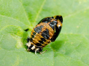 meaning of ladybug spirit animal pupa