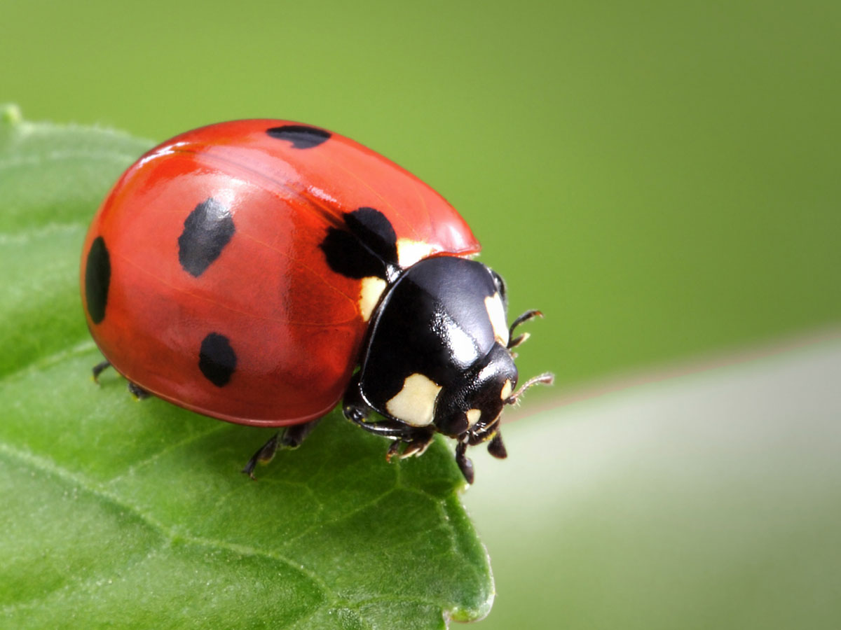 meaning of ladybug spirit animal