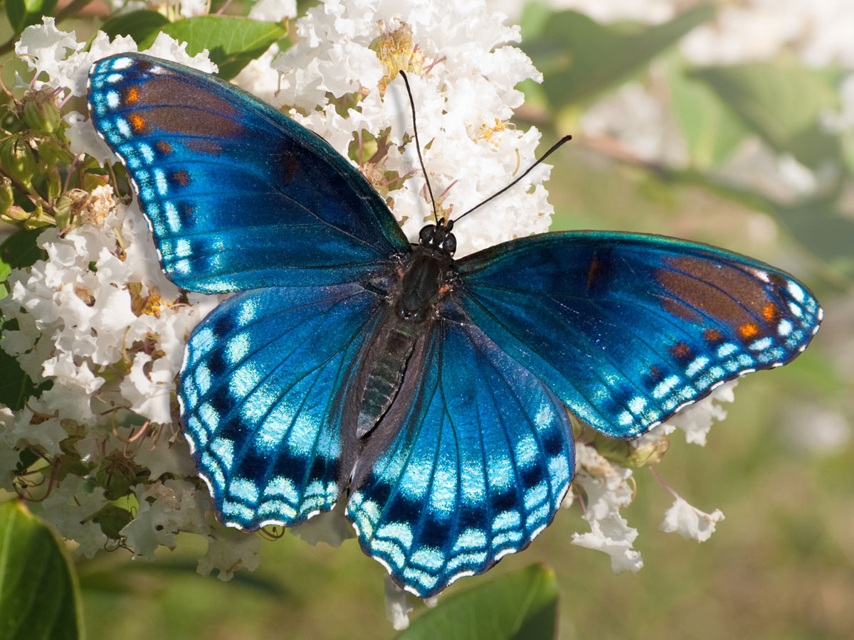 spiritual meaning of butterfly spirit animal