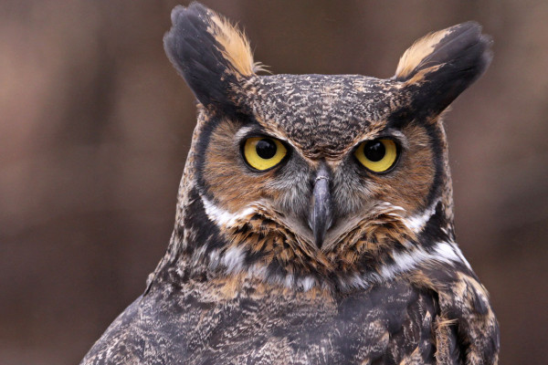 great horned owl symbolism