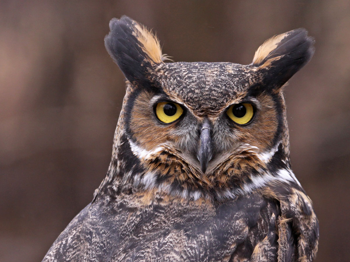 Great Horned Owl Symbolism Wild Gratitude
