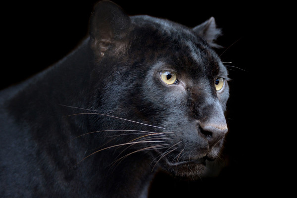 black panther symbolism black panther spirit animal