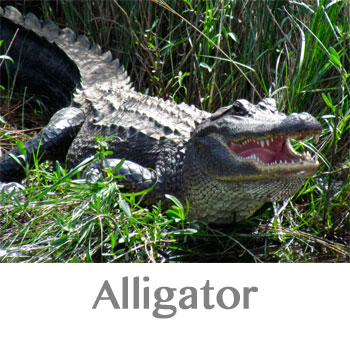 alligator spirit animal