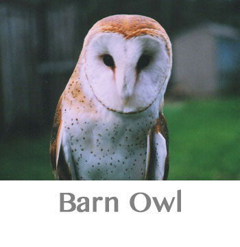 barn owl spirit animal