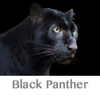 black panther spirit animal