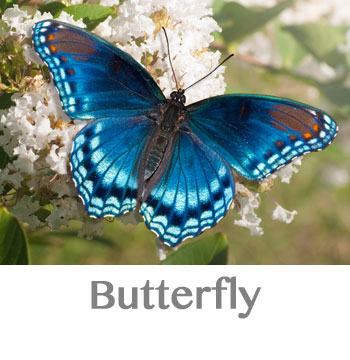 butterfly spirit animal
