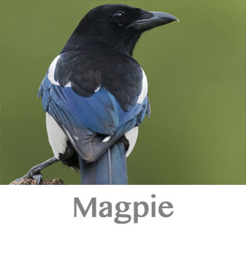 magpie spirit animal