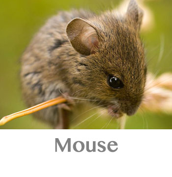 mouse spirit animal