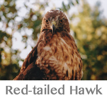 red-tailed hawk spirit animal