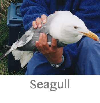 seagull spirit animal