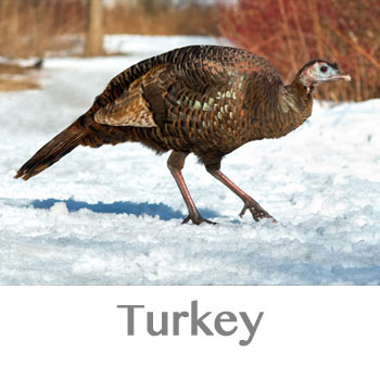 turkey spirit animal