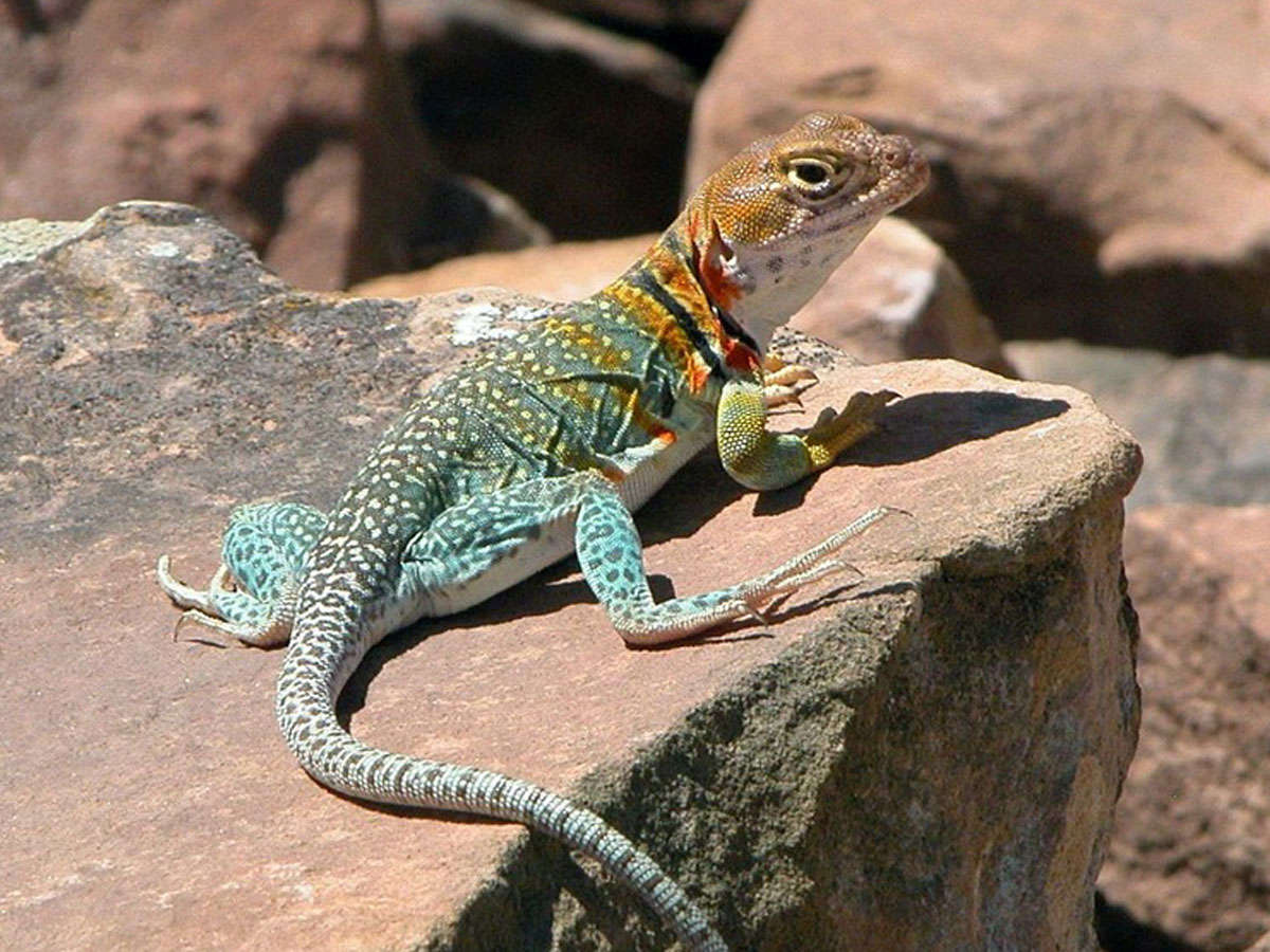 LIZARD MEANING • Colorful Perception • Wild Gratitude