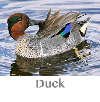 duck spirit animal