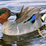 duck symbolism