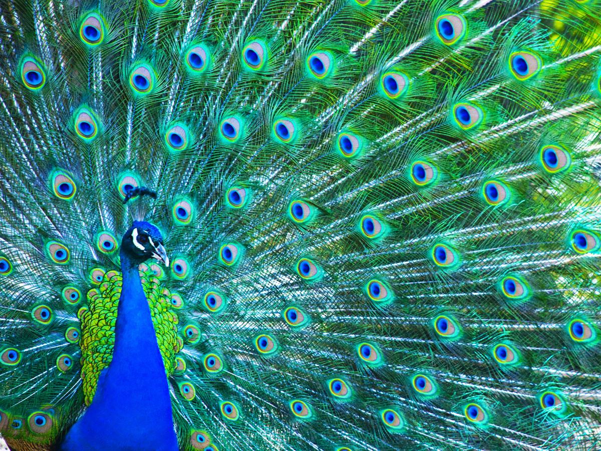 Peacock Symbolism: Watchfulness & Ambition - Wild Gratitude Symbols Of Watchfulness