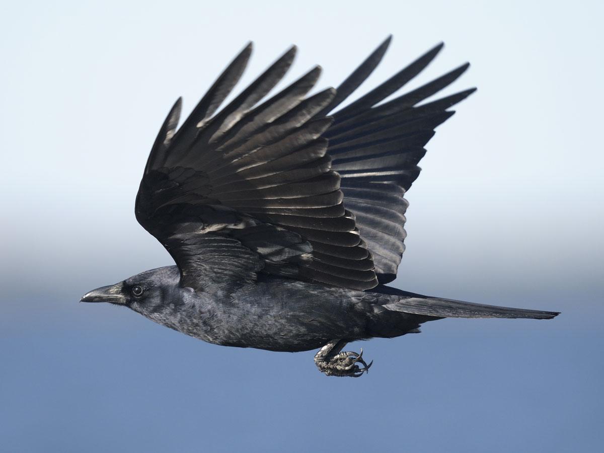 crow symbolism
