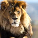 lion symbolism