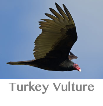 turkey vulture symbolism